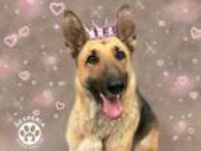 Adopt a Tan/Yellow/Fawn - with Black German Shepherd Dog / Mixed dog in
