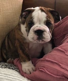Puppy Dogs For Sale Classifieds In Wilmington Nc Clazorg
