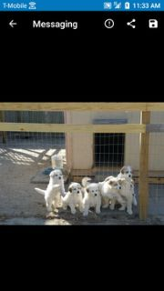 Great Pyrenees PUPPY FOR SALE ADN-74312 - Great Pyrenees Puppies