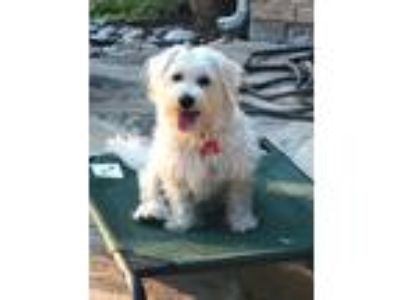 Adopt Mikey a West Highland White Terrier / Westie