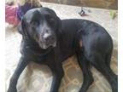 Adopt Duke a Labrador Retriever, Great Dane