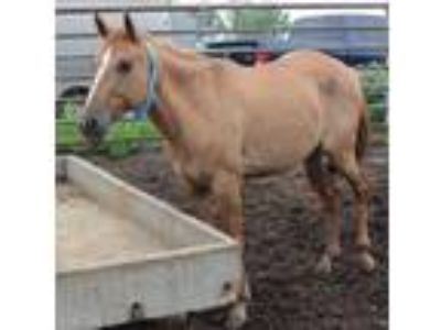 Adopt Lakota a Quarterhorse / Mixed horse in McKinney, TX (23252825)