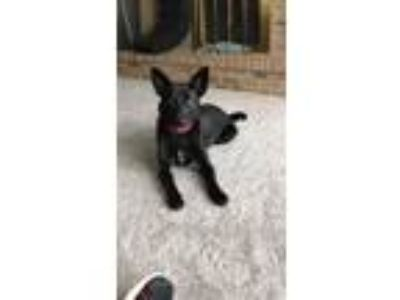 Adopt Coco a German Shepherd Dog, Border Collie