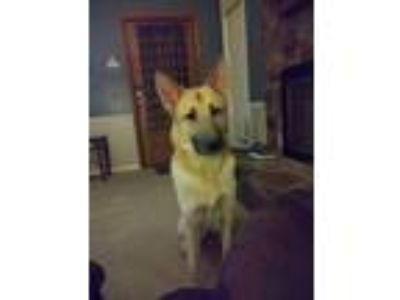 Adopt Prince (CL) a German Shepherd Dog