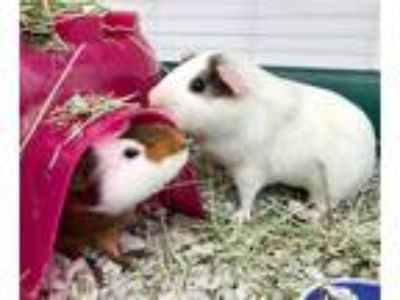 Adopt Pancake a Guinea Pig small animal in Santa Rosa, CA (25653577)