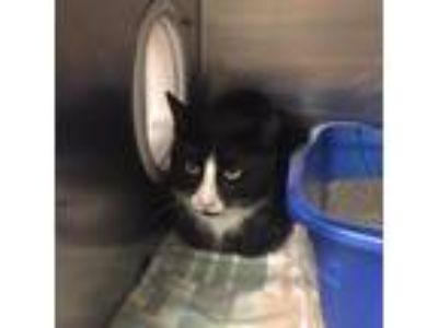Adopt Clowny a All Black Domestic Mediumhair / Domestic Shorthair / Mixed cat in