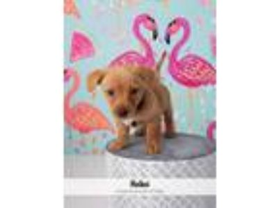 Adopt Hei Hei a Tan/Yellow/Fawn - with White Fox Terrier (Wirehaired) dog in