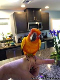 Conure Parrot for Sale
