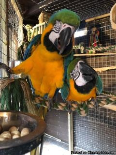 Proven Blue And Gold Macaws