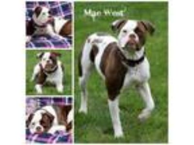 Adopt Mae West a Pit Bull Terrier
