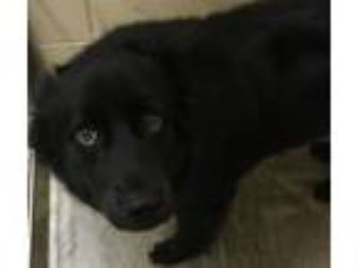 Adopt Toby a Black Border Collie / Labrador Retriever / Mixed dog in Little Elm