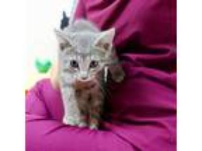 Adopt Scruffy a Gray, Blue or Silver Tabby Domestic Shorthair (short coat) cat