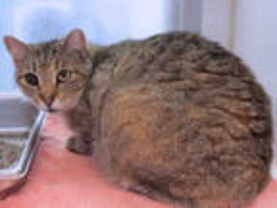 Adopt PINEAPPLE a Brown Tabby Domestic Shorthair / Mixed (short coat) cat in