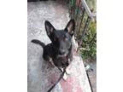 Adopt Victor (CL) a German Shepherd Dog