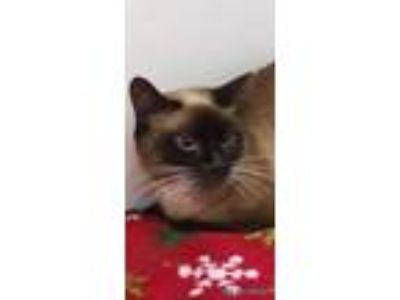 Adopt PRINCESS a Cream or Ivory Siamese / Domestic Shorthair / Mixed cat in Land