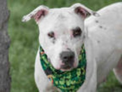 Adopt SAOIRSA a White American Pit Bull Terrier / Mixed dog in Rosenberg