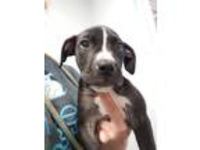 Adopt Monica a Pit Bull Terrier / Mixed dog in Angola, IN (25313582)