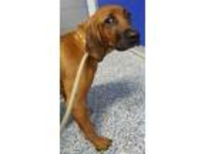 Adopt Red a Hound (Unknown Type) / Mixed dog in Angola, IN (25370470)