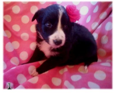 Border Collie PUPPY FOR SALE ADN-107963 - BORDER COLLIE CHRISTMAS PUPPIES IN ARIZONA