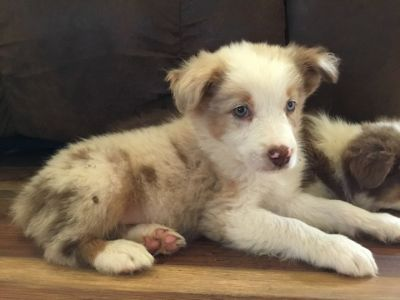 Australian Shepherd PUPPY FOR SALE ADN-88981 - Male Red Merle Standard Australian Shepherd