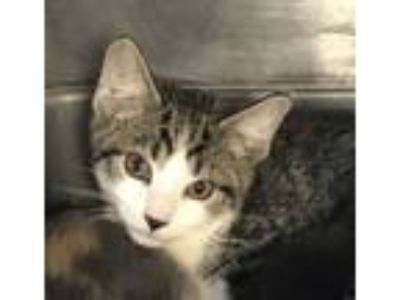 Adopt Edwin a Domestic Short Hair