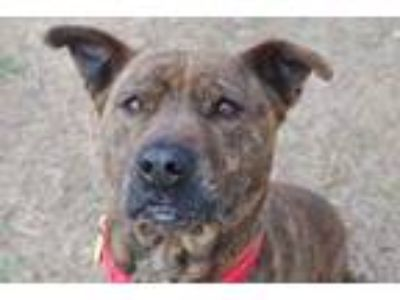 Adopt Baby Cakes a Brindle Mixed Breed (Large) / Mixed dog in Newton