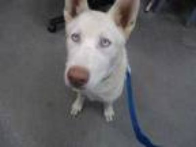 Adopt SPIRIT a White - with Tan, Yellow or Fawn Husky / Mixed dog in Fairfield
