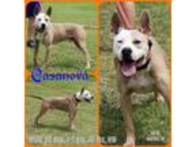 Adopt Casanova a Tan/Yellow/Fawn - with White Pit Bull Terrier / Terrier