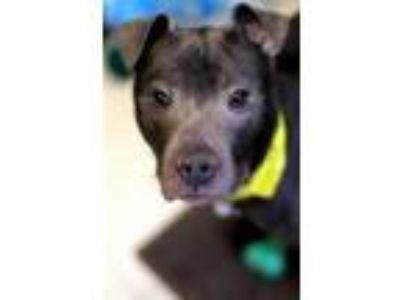 Adopt WILLY WONKA a Pit Bull Terrier, Mixed Breed