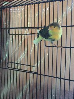 Birds- 2 pairs of Canaries and 3 Gouldian Finches