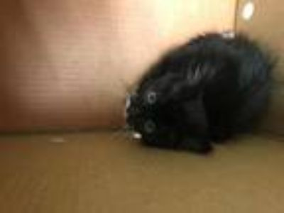 Adopt Neil Pawstrong a All Black Domestic Shorthair / Mixed cat in Oakland