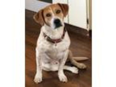 Adopt Sheldon Texas a Brown/Chocolate - with White Basset Hound / Terrier