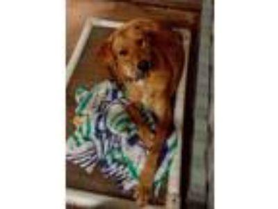 Adopt Puppies litter S a Labrador Retriever / Mixed Breed (Medium) dog in San