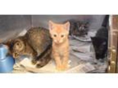 Adopt Six week old kittens a Domestic Short Hair