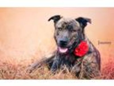 Adopt Journey a Hound, Black Mouth Cur