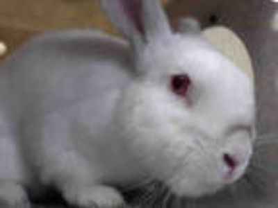 Adopt HOOK a Black Other/Unknown / Mixed rabbit in Downey, CA (25931867)