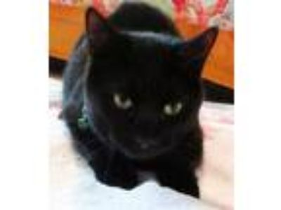Adopt Inky a Bombay