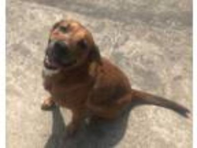 Adopt Priscilla a Red/Golden/Orange/Chestnut Hound (Unknown Type) / Mixed dog in