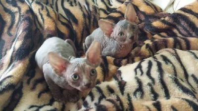 full Sphynx and Male and female are available