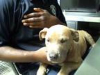 Adopt a Brindle American Pit Bull Terrier / Mixed dog in STOCKTON, CA (25620702)