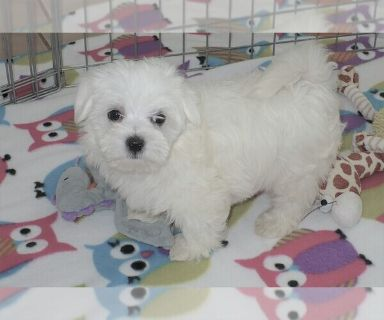 Maltese PUPPY FOR SALE ADN-130312 - Maltese Puppy