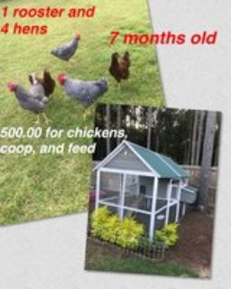 chickens, coop & feed