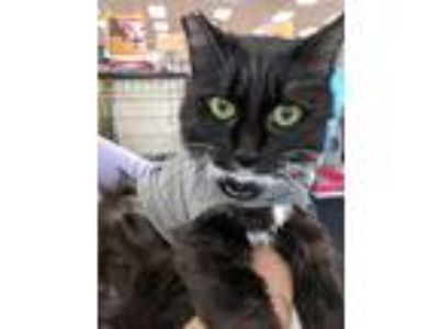 Adopt Sapphire - she'll be the jewel in your crown! a Domestic Medium Hair