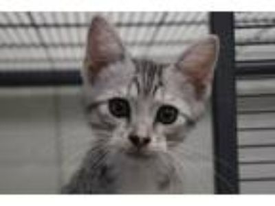 Adopt Kite a Domestic Short Hair