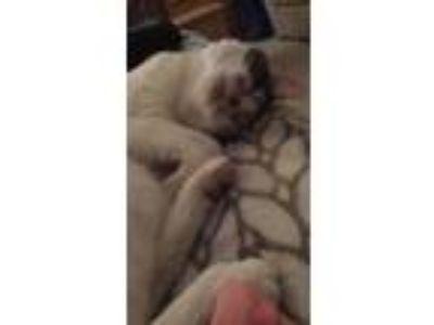 Adopt Milla a Calico or Dilute Calico Calico cat in Reno, NV (24413486)