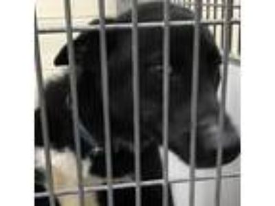 Adopt Star Lord a Black Shepherd (Unknown Type) dog in Knoxville, TN (25640599)