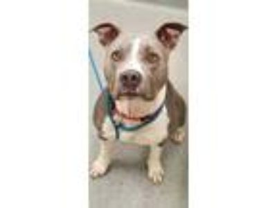 Adopt Chyna a Gray/Blue/Silver/Salt & Pepper American Pit Bull Terrier / Mixed