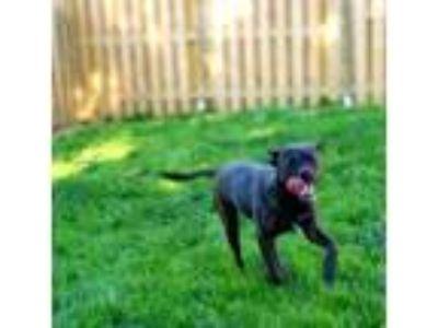 Adopt Taylor a Boston Terrier