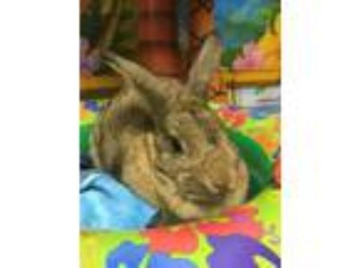 Adopt CeeCee a Agouti American / Mixed (short coat) rabbit in North Lima