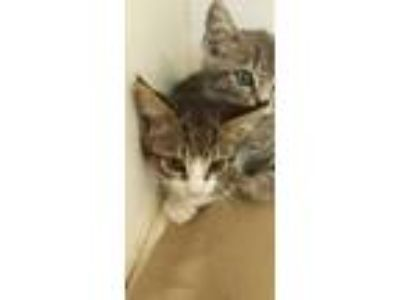 Adopt Tu a White Domestic Shorthair / Domestic Shorthair / Mixed cat in Land